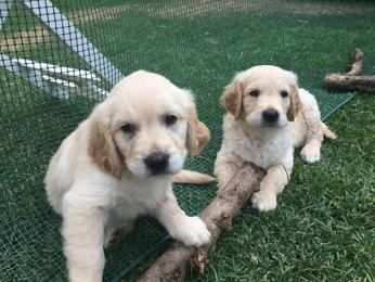 Annuncio GOLDEN RETRIEVER 1